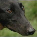 Escaped Greyhound
