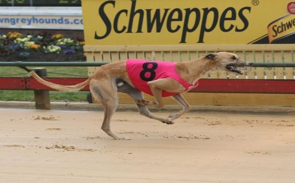 Dog Racing's New Problem: Cocaine