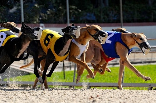 Top Greyhound Betting Offers You Don't Want to Miss