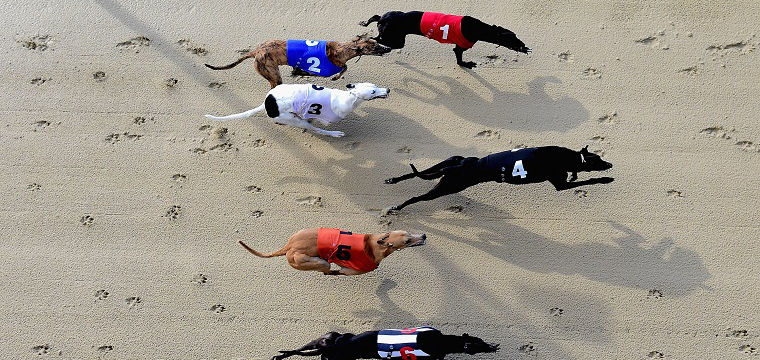 What to Look out for When Betting on Greyhounds